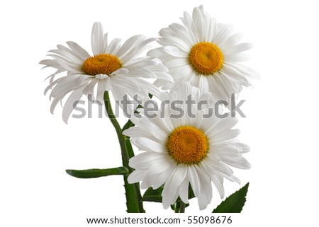 Three large daisy isolated on a white background