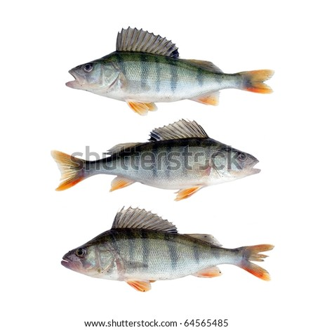 three large perches on white background