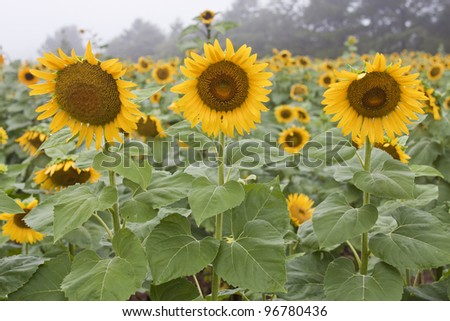 Three large sunflowers in a field with numerous sunflowers in the background.