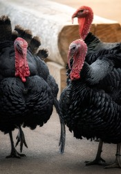 Three large turkey birds with black feathers.