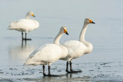 Three large white birds, whooper swan, Cygnus cygnus standing together on the ice during winter day in Estonia