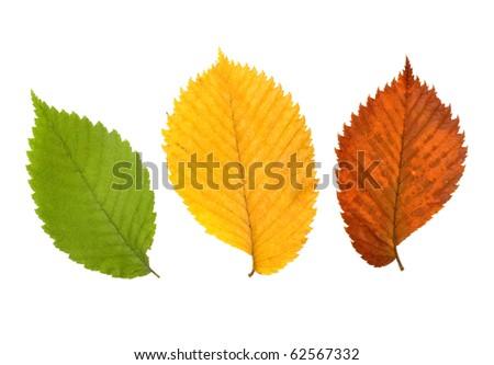 Three leaves of elm tree