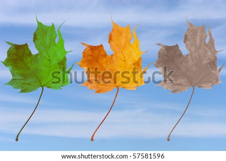 Three leaves symbolizing birth, life and death (green, yellow and faded maple leaves against the background of blue sky)