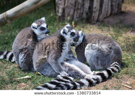 Three Lemurs in captivity. They are native only to the island of Madagascar. Most existing lemurs are small, have a pointed snout, large eyes, and a long tail