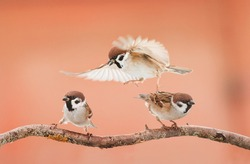 Three little angry birds arguing on a branch in Sunny day