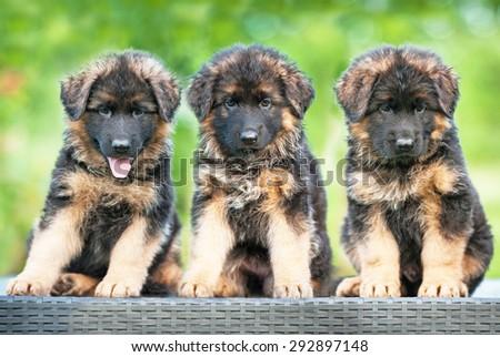 Three little german shepherd puppies sitting on the bench
