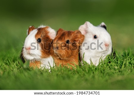 Three little guinea pigs sitting in a row outdoors in summer Сток-фото ©