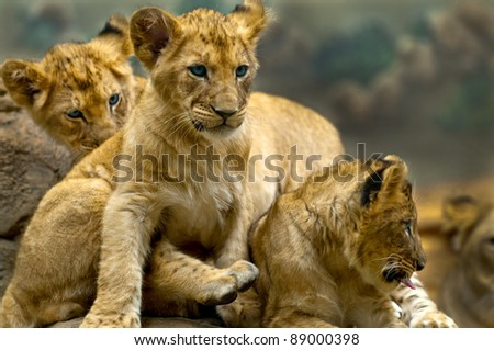 Three little lion cubs siblings sitting on the rock