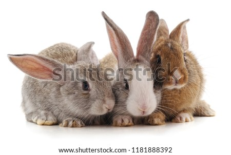 Three little rabbits isolated on a white background.