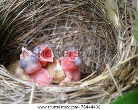 three little White Wagtails hatching in the nest