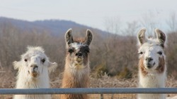 Three Llamas at a Fence - Photograph of three llamas standing behind a gate.  Background includes a field and some mountains.  Selective focus on the llamas' head features.