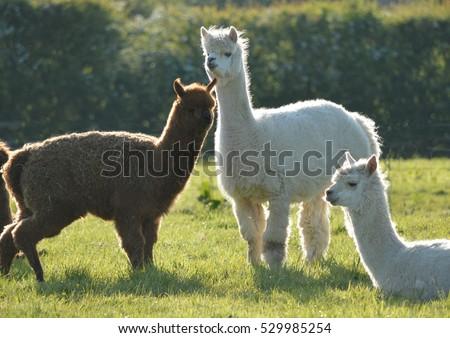 Three Llamas in a Field