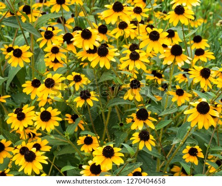 Three-lobed coneflower, brown-eyed Susan, thin-leaf coneflower (Rudbeckia triloba) in central Virginia in early August