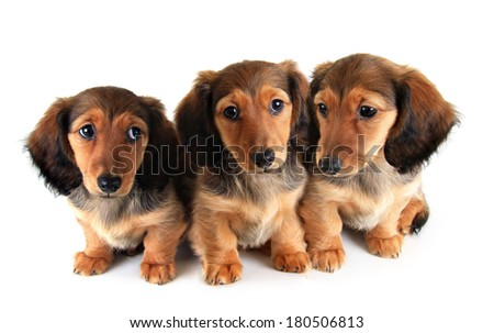 Three Longhair dachshund puppies, isolated on white. - stock photo