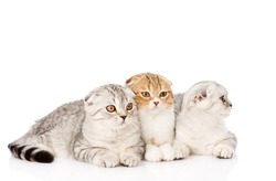 Three lop-eared scottish cats lying together. Isolated on white background