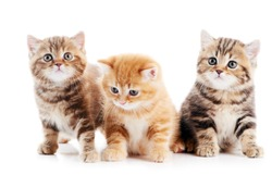 Three lying british shorthair kittens cat isolated