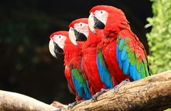 Three macaw on tree