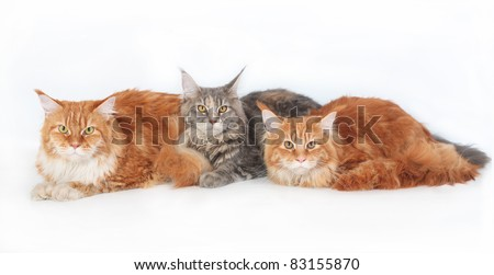 Three Maine Coon Cats on a white background.