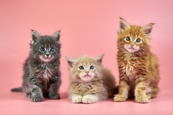 Three Maine coon kittens - cream, red and gray coat color. Cute shorthair purebred cats on pink background. Ginger, beige and gray hair attractive kitties from new litter.