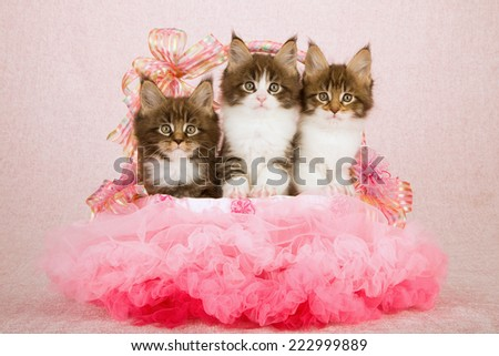 Three Maine Coon kittens sitting inside pink tutu decorated basket on pink background