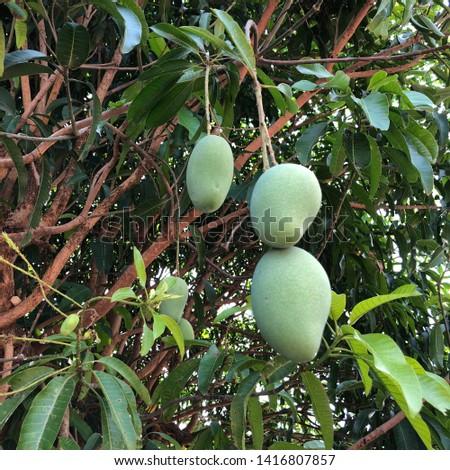 Three mangoes ,three sizes,and three height #1416807857