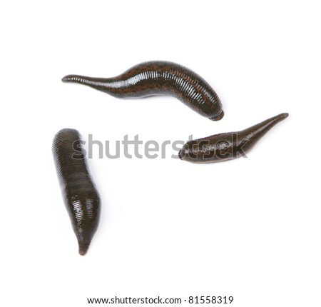 Three medicinal leeches on a white background