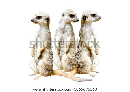 Three meerkats, standing together on hind legs, isolated on a white background