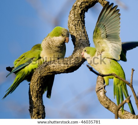 Three Monk Parakeets perched and interacting in a tangle of branches - Buenos Aires. - stock photo