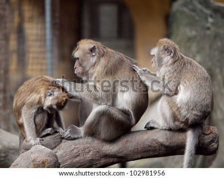 Three monkeys (crab eating macaque) grooming one another. I got this shot in Taipei Zoo, Taiwan.