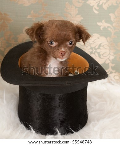 Three months old puppy chihuahua dog in a black top hat