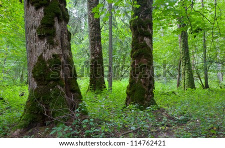 Three moss wrapped giant maples in natural stand of Bialowieza Forest late spring, Bialowieza Forest, Poland
