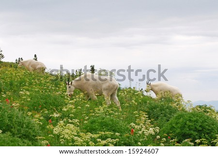 Three Mountain Goats grazing in a meadow of wildflowers.