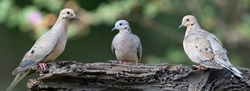 Three Mourning Doves Perched on Driftwood