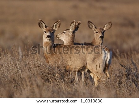 Three Mule Deer does, in eastern Montana, where the Bakken Formation has led to the largest US oil discovery ever, and created an economic boom to the region; environment / wildlife / nature