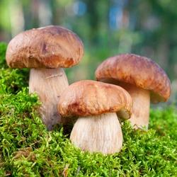 three mushroom (porcini) on moss in forest