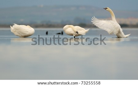 Three Mute swans