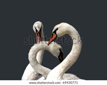 three mute swans in harmony