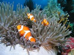 three nemos - clownfisch