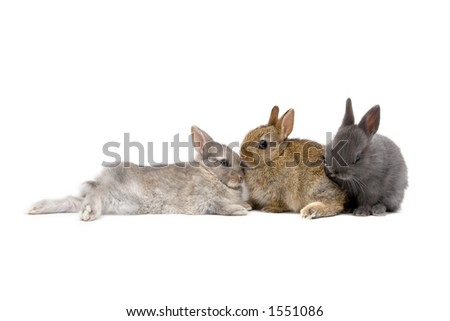 Three Netherland Dwarf bunnies on white background