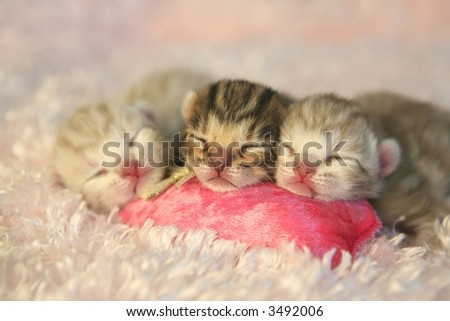 Three newborn kittens with pink cat toy on pink background