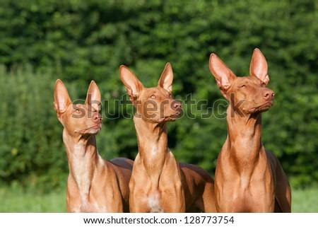 Three nice dogs - Pharaoh Hound