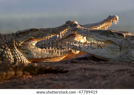 Three nile Crocodiles lying in the sun with mouths open