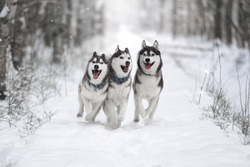 Three of Siberian Husky dog running in the snowy forest