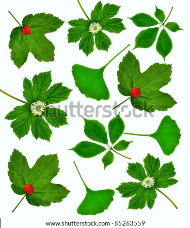 Three of the world's most important medicinal plants including American Ginseng, Goldenseal, and Ginkgo biloba leaves.