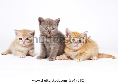 Three One little sitting (lying) purebred british shorthair kittens cat isolated