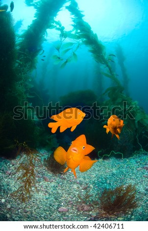 Three orange garibaldi fish swim in a kelp bed that looks like a clear water aquarium.   Excellent image for showing nature and interaction.