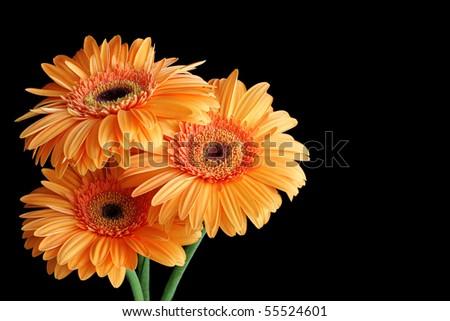 Three orange gerbera flowers isolated on black