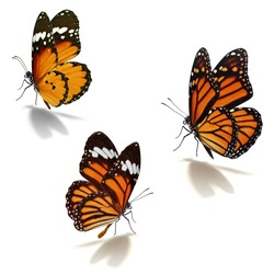 Three orange monarch butterfly isolated on white background