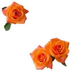three orange roses isolated  on white background