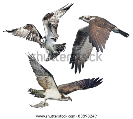 Three Ospreys in flight, isolated on white. Latin name - Pandion haliaetus.